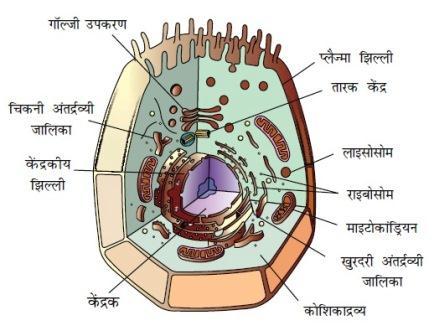 कोशिका का सामान्य परिचय संरचना तथा प्रकार