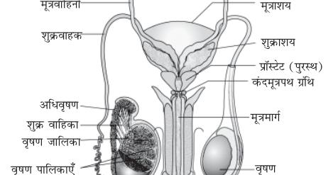 मानव शरीर जनन तंत्र एवं भ्रूण विज्ञान