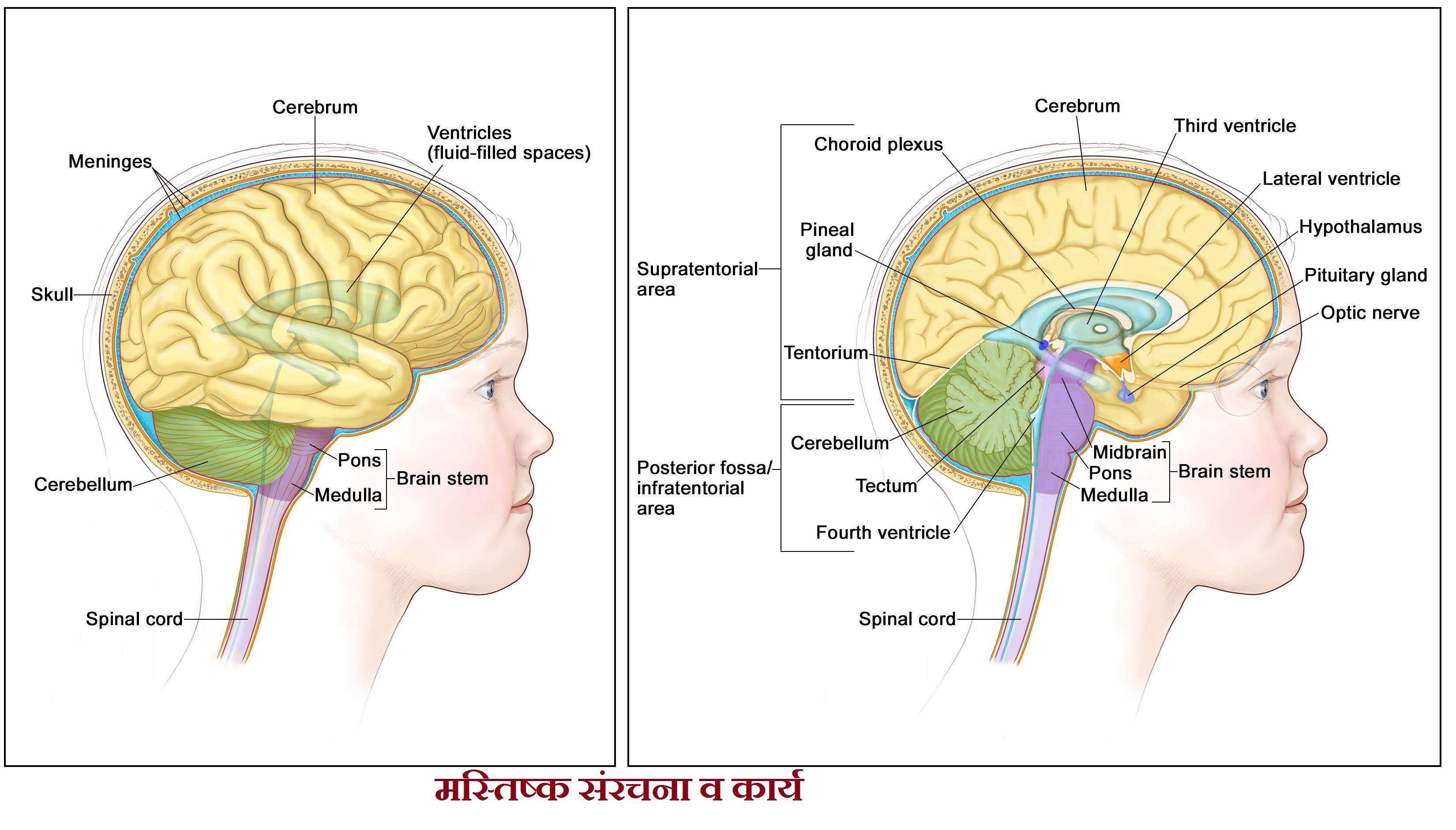 मस्तिष्क संरचना व कार्य