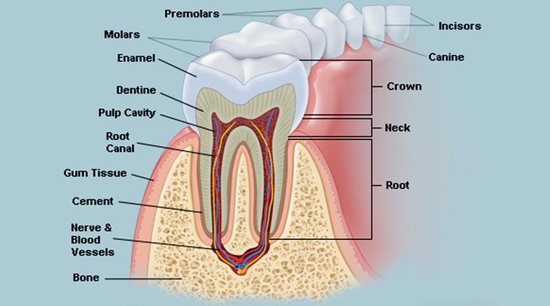मानव दाँत हिंदी में